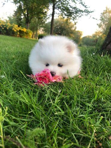 Μίνι κουτάβια Pomeranian προς πώλησηΤο Mini Pomeranian διατίθεται για