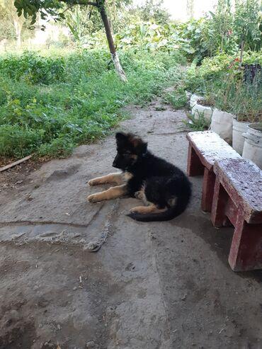хендай accent цена в Ак-Джол: Продаю щенка немецкая парода 3 месяца цена 7000сом