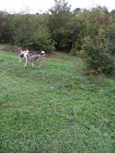 36 elan   HEYVANLAR: Qara alabay sarı kangaldı biri 200azn alabayın yaşı 9 ay kangal isə 5