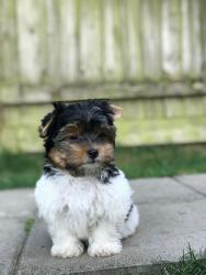 Yorkshire Terrier Dogs and Puppies for sale  σε Gazi