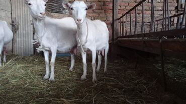 Животные - Кызыл-Туу: Продаю | Коза (самка), Козёл (самец), Козлёнок | Зааненская | Для молока | Племенные