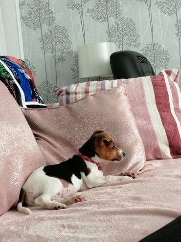 Όμορφα κουτάβια Jack Russell Terrier για καλό σπίτι.Όμορφα κουτάβια