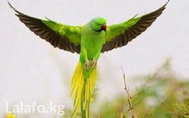Ожиреловые попугаи в Кок-Ой