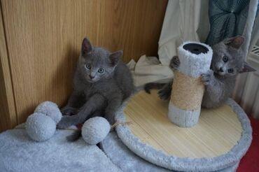 Ρωσικά μπλε γατάκια. Αυτά τα γατάκια είναι όμορφα μέσα και έξω. Έχουν