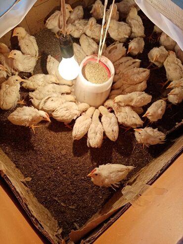 Животные - Орловка: Продаю | Цыплята, Инкубационные яйца | Хай-Лайн Соня Грей | Несушки