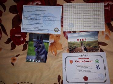 Продаю элитных щенков, немецкой в Бишкек