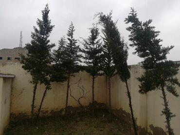 прожекторы уличные в Азербайджан: Yolka ağacları satilir 6 eded. Biri 30m