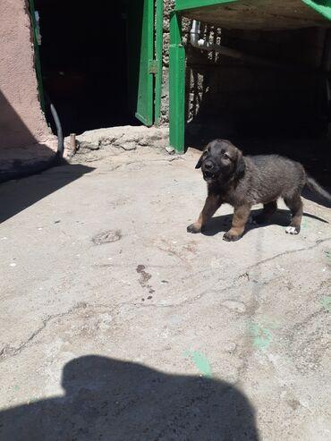 alman avcarka - Azərbaycan: Evvala salam Temiz avcarka balasi di Evropiskidi 1 ay 11 gunlukdu