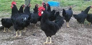 Яйцо чёрная минорка яйцо всегда в Лебединовка