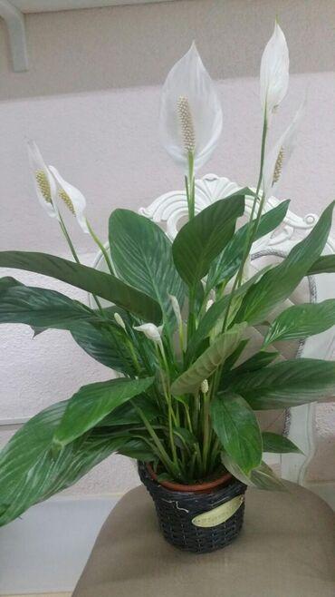 Комнатные цветыСпатифиллумКаланхоэЦикламенГузманияОрхидея и многие