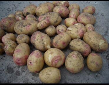 Картошка ыссыколдо.Бостери айылы