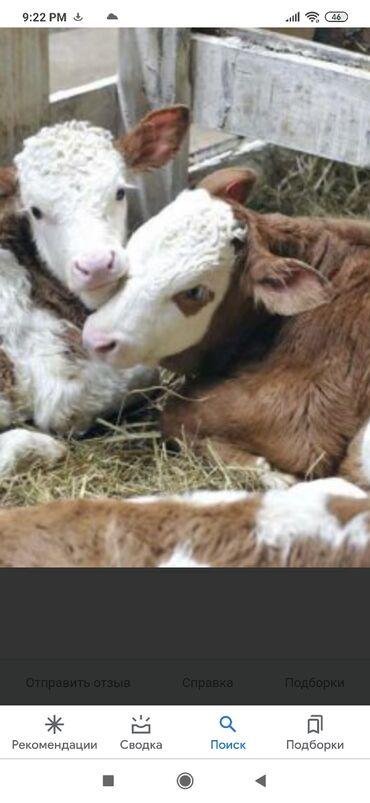 8909 объявлений: Куплю | Коровы, быки