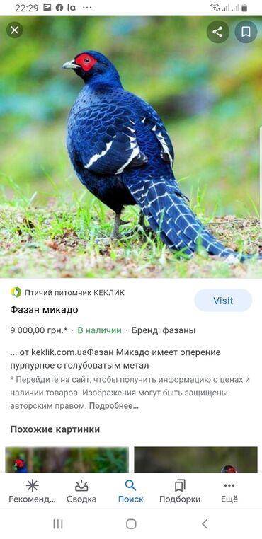 Куплю пару фазана Микадо?