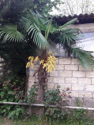 Palma ağacı