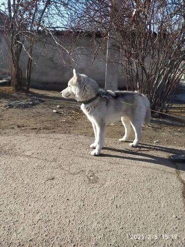 Продаю щенков сибирской хаски. Цена договорная