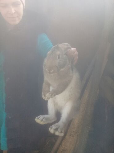 Продаю кроликов 4 и 5 месяцев 3 штуки за всех 2000тысячи