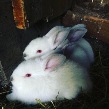 Gəncəda: Kaliforniya dovşan balaları satılır