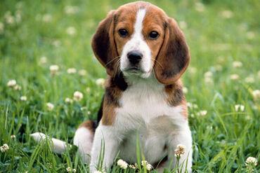 Όμορφα κουτάβια beagle προς πώληση Γεια σας είναι τα εκπληκτικά κουτάβ