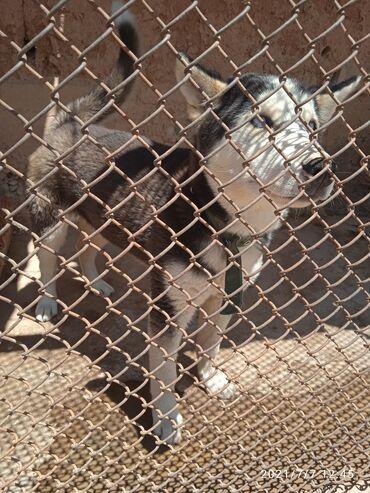 Животные - Нарын: Продаю Чистокровный сибирский хаски щенок родился в феврале мальчик