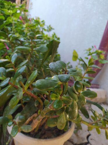 Денежное дерево - Кыргызстан: ГОРОД БИШКЕК Растение: Денежное дерево Возраст: 3 года Цена: 500 сом