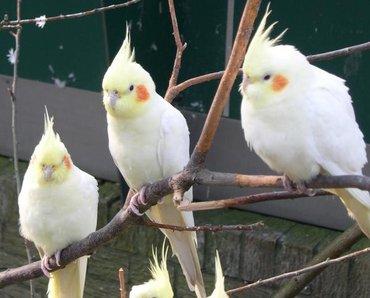 Продаются попугаи кореллы  в Бишкек