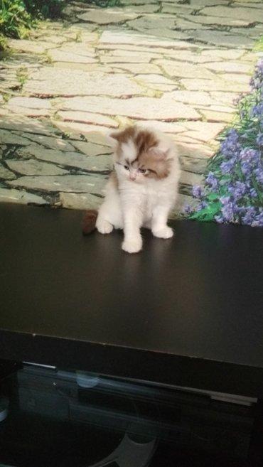японская порода кошек в Кыргызстан: Питомник кошек kissol d vel предлогает котов на вязку и котят на