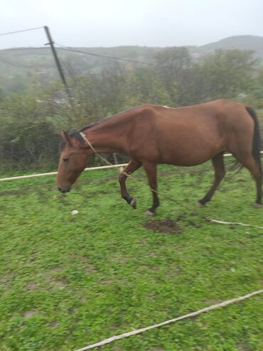 22 elan | HEYVANLAR: Salam atlar satilir ana bala 450 manat