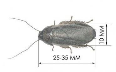 Таракан мраморный.Nauphoeta cinerea — вид тараканов. Родина этого тара в Бишкек