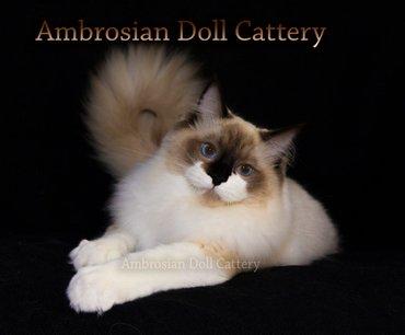 Рэгдолл (ragdoll) - тряпичная кукла. Редкие и необычные котята породы в Бишкек