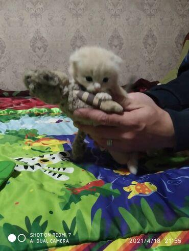 Продаю котят шатланских веслоухих обращайтесь по телефону цена 8000