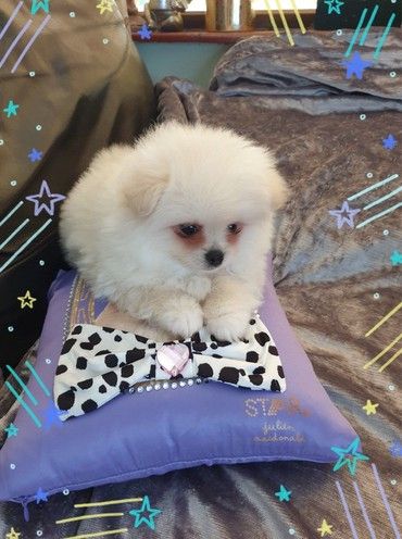 Beautiful Pomeranian Puppies for sale σε Dorida