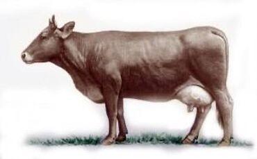 купить-быка-на-мясо в Кыргызстан: Куплю телят до 4х месяцев. Оптом!