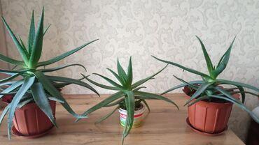 Комнатные растения - Кыргызстан: Алоэ!!!Продается алоэ (3 года)цена договорная . От 200 до 800 соммы