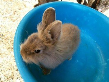 продаю декоративных красивых кроликов, 5 мес.  в Беловодское
