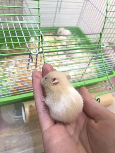 180 elan | GƏMIRICILƏR: 2 heftelik hamster balalari
