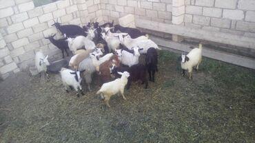 Животные - Гусар: Срочно продаю 25 шт ana bala keciler 2300azn hamisi kusarax