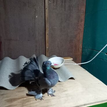 Животные - Говсаны: Salam londo pavleri satlir ikiside erkekdi barter var mayasiyla