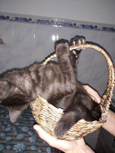 Животные - Ленинское: Отдам котят в хорошие руки. 4мес., к лотку приучены, ловят мышей