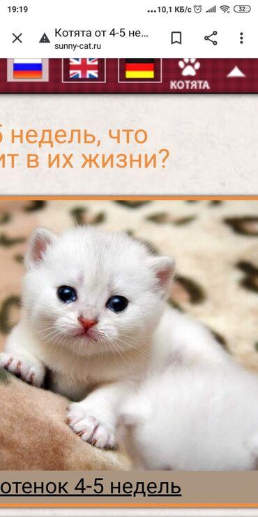 Коты - Кыргызстан: Возьму котёнка3-6 месяцев желательно Белого или черно белого или в