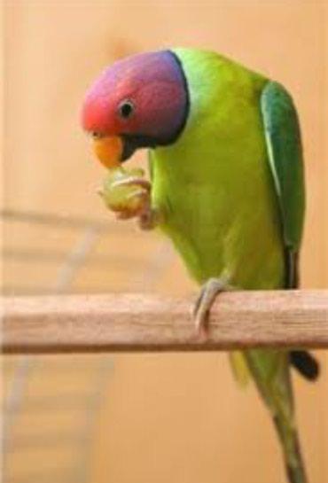 Попугайчики разных видов можно учить разговаривать и приучать к рукам