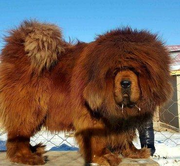 Bakı şəhərində Tibet mastifi satilir, sifariwle getirilir.Wekilde balanin ozunu ve