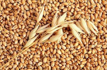 Семена и уличные растения - Кара-Балта: Куплю ячмень 1 тонну с доставкой весы есть