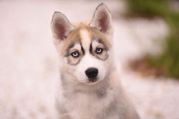жигули 07 бишкек in Кыргызстан | ВАЗ (ЛАДА): Продаётся щенок хаски.Алиментный щенокмальчик  Дата рождения 24.07.2