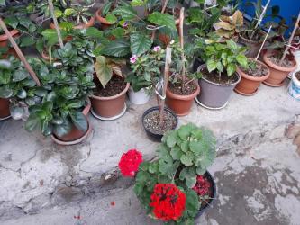 guller - Azərbaycan: Her nov guller satilir 3 manatdan baslayir