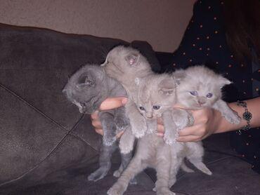 pisikler - Azərbaycan: Scottish ve Brithish shorthear qarisi temiz cins pisikler