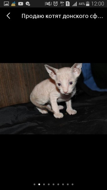 кошка сфинкс с шерстью в Кыргызстан: Возьму даром сфинкса