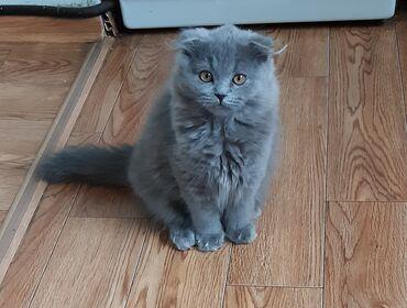 340 объявлений: Продаю котёнка шотландской породы скотиш фолд девочка, окрас голубой