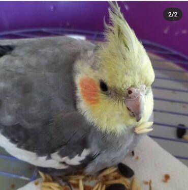 Птицы - Кыргызстан: Корелла молодые птенцы уже вылетели из гнезда и ждут своих хозяев в