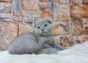 Продаются шотландские плюшевые котята. Мальчик SFS c Скоттиш Фолд