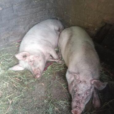 Продаю | Свинья (самка) | Крупная белая | На забой, Для разведения | Матка